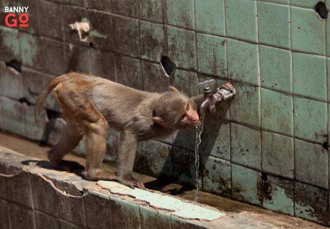 Hindistan Ölüm Saçan Maymunlar