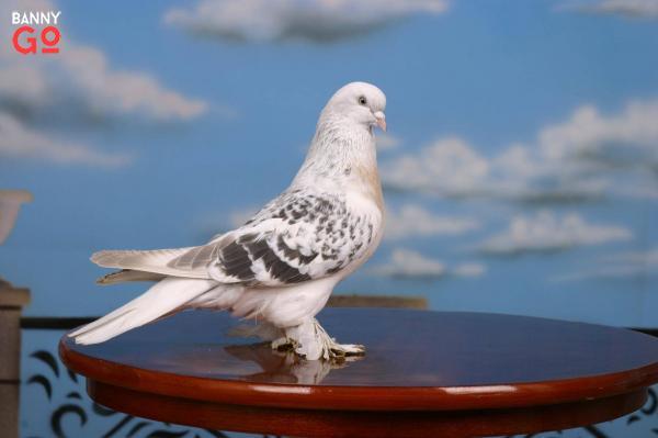 Birinci Dünya Savaşı Posya Güvercini