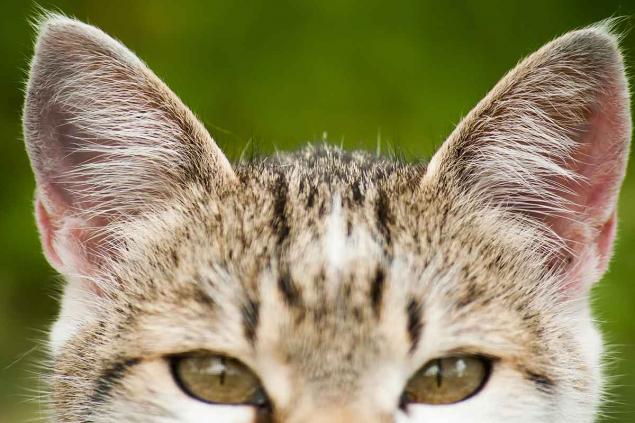 Kediler kulaklarını 180 derece döndürebilir.
