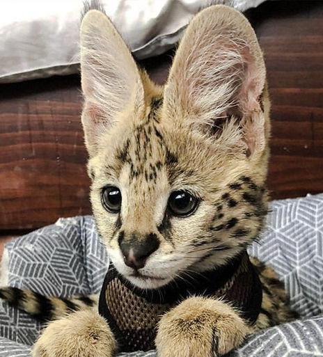 Ortalama bir kedinin kulakları, bir yetişkin bir insanınkinden en az beş kat daha keskindir.