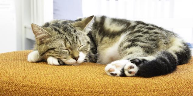 Evcil kediler günün yüzde 70'ini uyuyarak geçirirler.