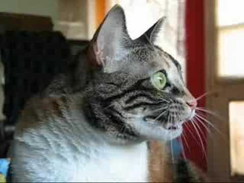 Bir kedi doğrudan burnunun altını göremez.