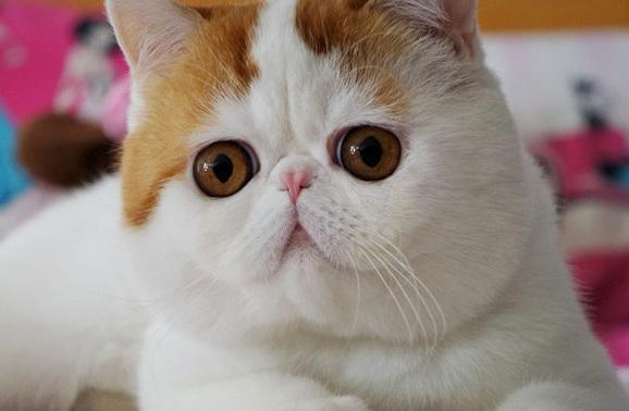 Neredeyse hiçbir kedinin kirpiği yoktur.