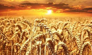 Küresel Isınmaya Bağlı İklim Değişikliği Buğday Mahsullerini Tehlikeye Atıyor